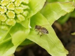 ミツバチは人を刺す?